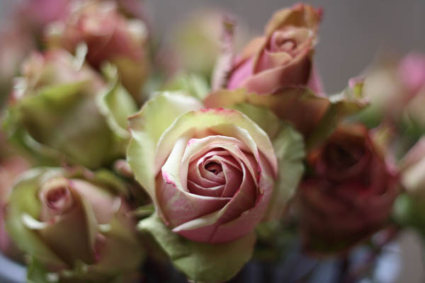 Dusky Pink Peppermint Rose