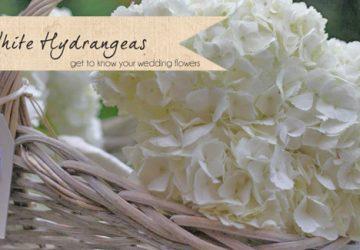 white hydrangeas wedding