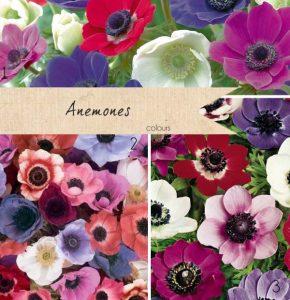 anemone wedding flowers colours