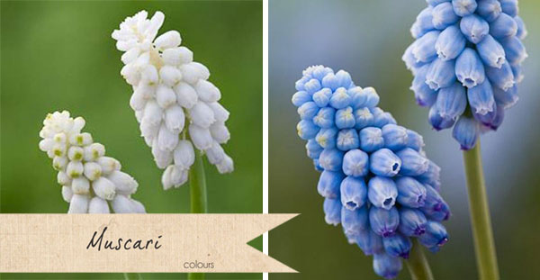 muscari colours blue white