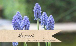 muscari wedding flowers spring blue wedding flowers