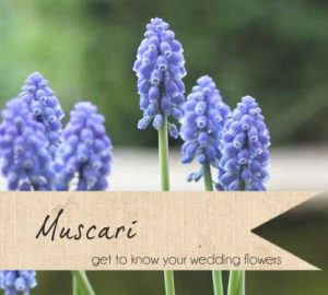 muscari wedding flowers spring blue wedding flowers