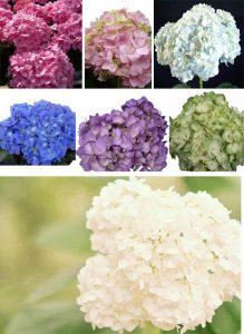 hydrangeas wedding flowers colours