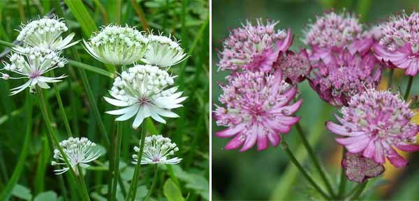 astrantia pink and white wedding flowers