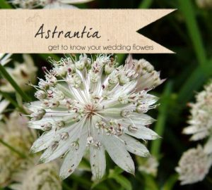 astrantia wedding flowers