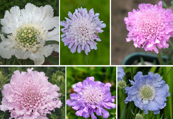 scabious colours
