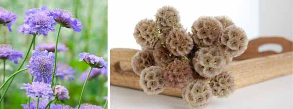scabious flowers and dried scabious