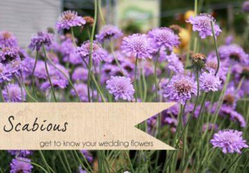 scabious wedding flowers