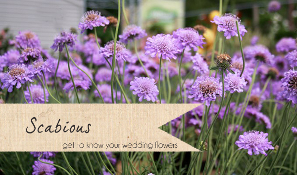 scabious wedding flowers